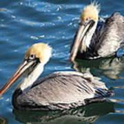 Two Beautiful Pelicans Art Print