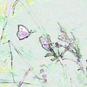 Two Butterflies Art Print