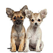 Two Chihuahua Puppies Sitting 3 Months Art Print