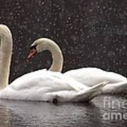 Two Christmas Swans A Swimming Art Print