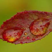 Two Droplets On A Leaf  Art Print