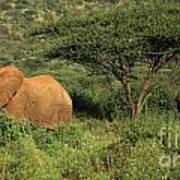 Two Elephants Walking Through The Grass Art Print