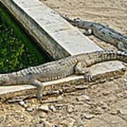 Two Gharial Crocodiles In Gharial Conservation Breeding Center In Chitwan Np-nepal   Art Print