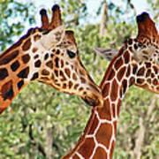 Two Giraffes Art Print