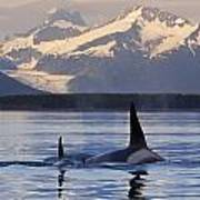 Two Killer Whales Surface In Lynn Canal Art Print