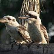 two Kookaburra Art Print