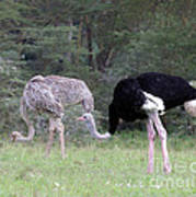 Two Ostriches Art Print