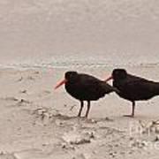 Two Oystercatchers Haematopus Unicolor On Beach Art Print