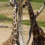 Two Reticulated Giraffes - Giraffa Camelopardalis Art Print