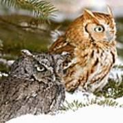 Two Screech Owls Art Print