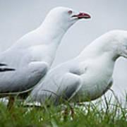 Two Seagulls Art Print