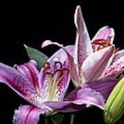 Two Star Lilies Art Print