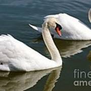 Two Swimming Swans Art Print