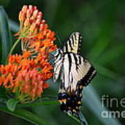 Two-tailed Swallowtail Art Print