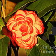 Two-tone Camellia Art Print