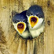 Two Tree Swallow Chicks Art Print