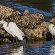 Two White Herons And A Coot Art Print