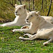Two White Lions Art Print
