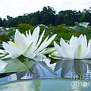 Two White Waterlilies Art Print