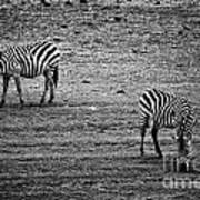 Two Zebras Eating. Tanzania Art Print