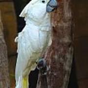 Umbrella Macaw Art Print