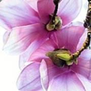 Under The Magnolia Art Print