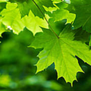 Under The Maple Leaves - Featured 2 Art Print