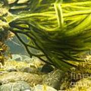 Underwater Shot Of Green Seaweed Attached To Rock Art Print