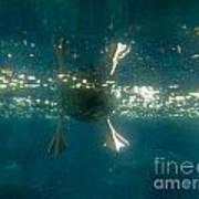 Underwater View Of Duck's Webbed Feet Art Print