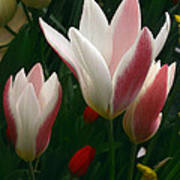 Unfolding Tulips Art Print