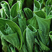 Unfurling Of The Hosta Art Print