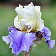 Up Close Elegant Iris Art Print