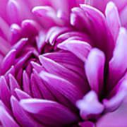 Up-close Flower Power Pink Mum  Art Print