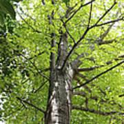 Up The Oak Tree Art Print