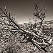 Uprooted - Bryce Canyon Sepia Art Print