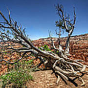 Uprooted - Bryce Canyon Art Print