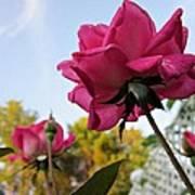 Upward Roses Art Print