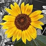 Urban Sunflower Art Print