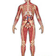 Urinary, Skeletal & Muscular Systems Art Print