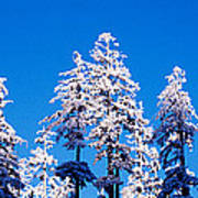 Usa, Oregon, Pine Trees, Winter Art Print