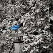 Vagabon Blue Bird Art Print