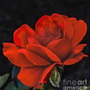Valentine Rose Print by Robert Bales