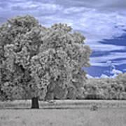 Valley Oak #2 Art Print