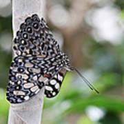 Variable Cracker Butterfly Art Print
