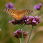 Variegated Fritillary Butterfly Square Art Print
