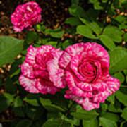 Variegated Roses Art Print