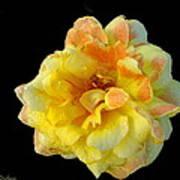 Variegated Yellow Rose Art Print