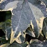 Varigated Ivy Leaves Art Print