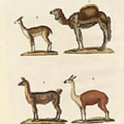 Various Camels Art Print