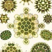 Varities Of Pediastrum From Kunstformen Der Natur Art Print